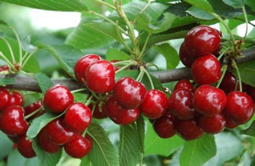 Cây Giống Cherry