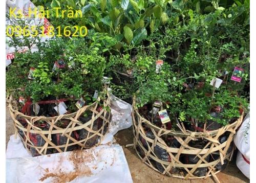 Chanh Ngón Tay