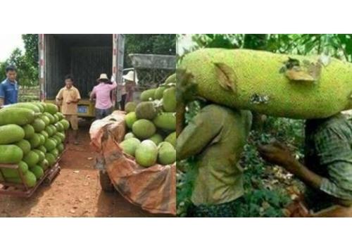 Cây Mít Trái Dài Malaysia