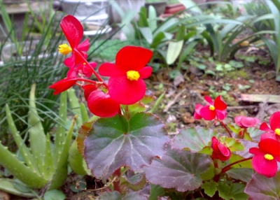 Cây Hoa Thu Hải Đường