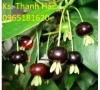 Cây Cherrry Brazil