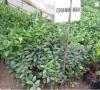 Cây Chanh Đào