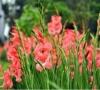Cây Hoa Lay Ơn
