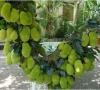 Cây Mít Thái
