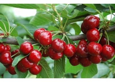 Cây Cherry Mỹ